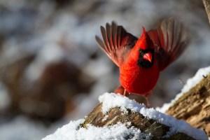 northern-cardinal-938377_1280