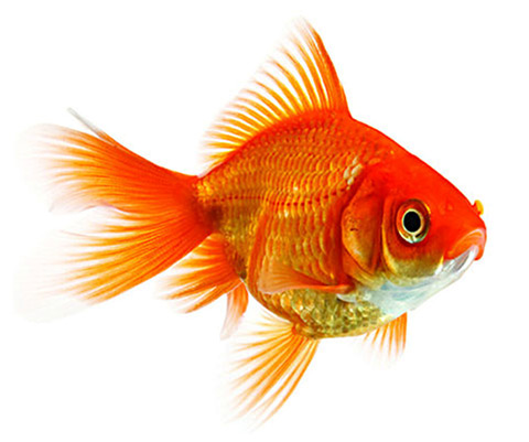 Attention span of a goldfish