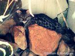 Gato do mato, no Instituto Zoobotânico de Morra Azul - 'Leopardus tigrinus'