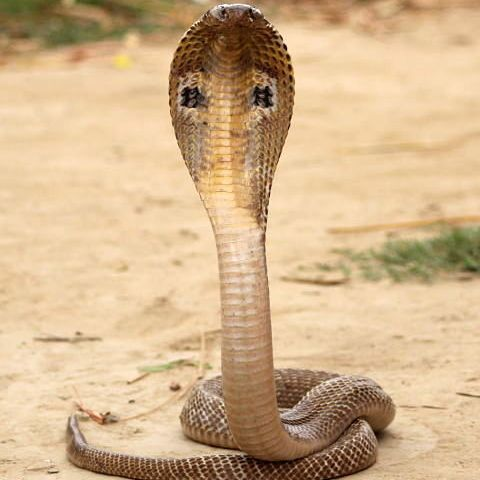 Spectacled Cobra