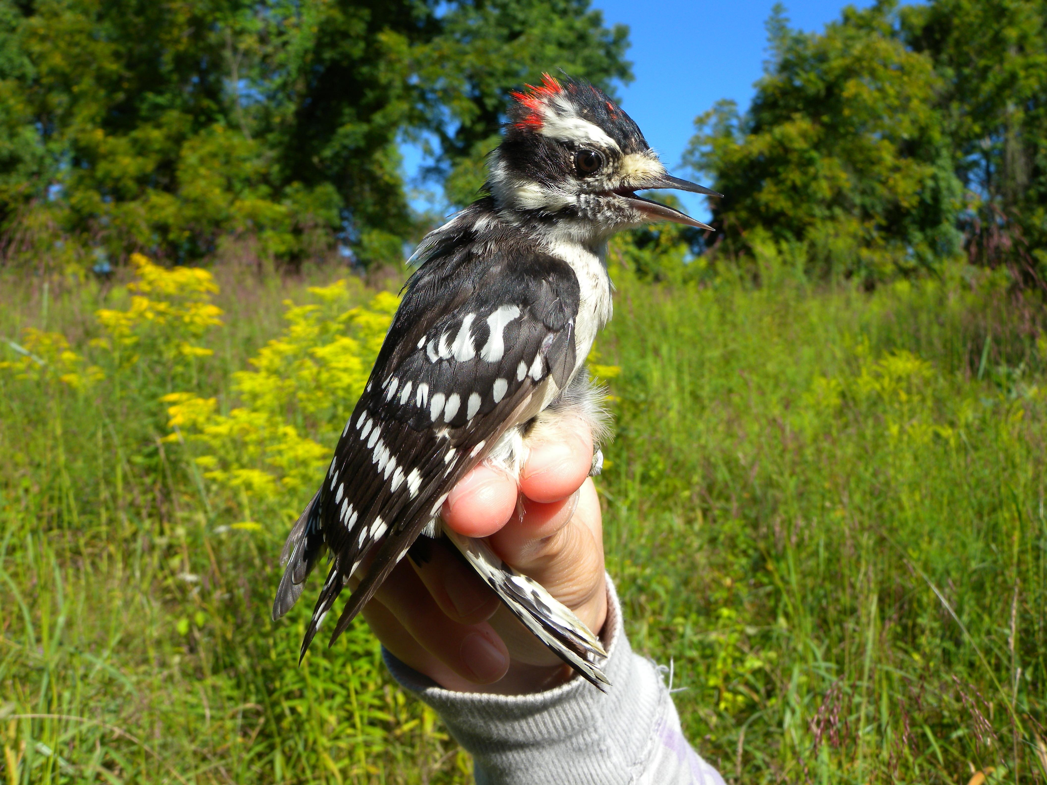Build Downy Woodpecker Birdhouse Plans Diy Wood Clock