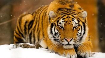 Tiger orange adult