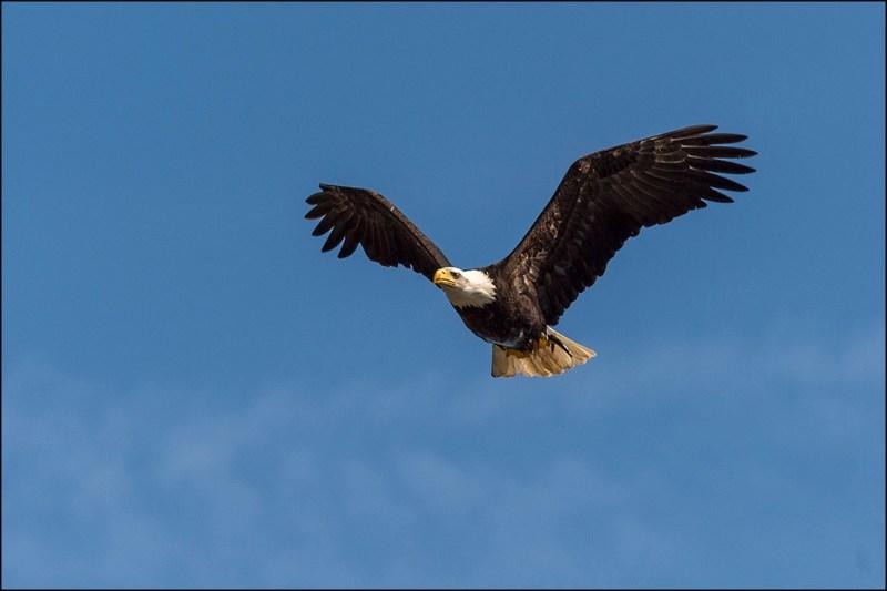 john cross bald eagle with fish