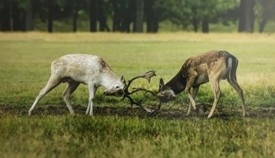 Fallow Bucks, Sparring by James Thatcher