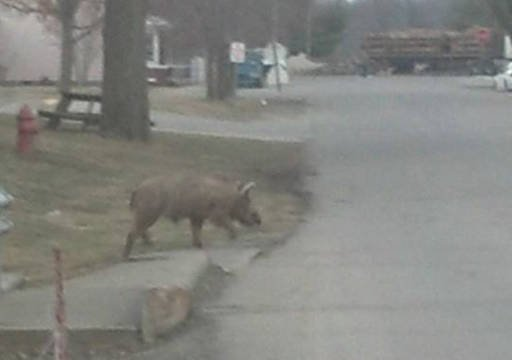 Wild Hogs Shot And Killed In Medora Ind WDRB 41
