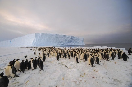 0penguin_colony_belare_2012_2013_005_700_466_80_s_c1_c_c.jpg