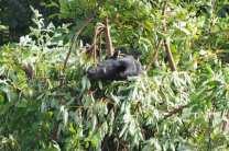Black bear in tree in Shenandoah