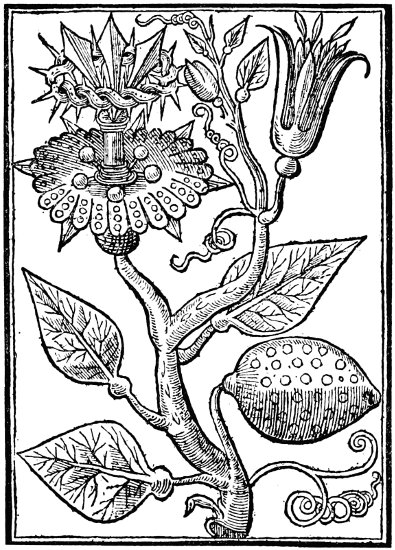 The Passion-flower of the Jesuits. From Parkinson's Paradisus.