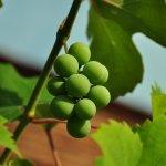 виноград Закарпатья