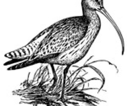 cropped-curlew.jpg