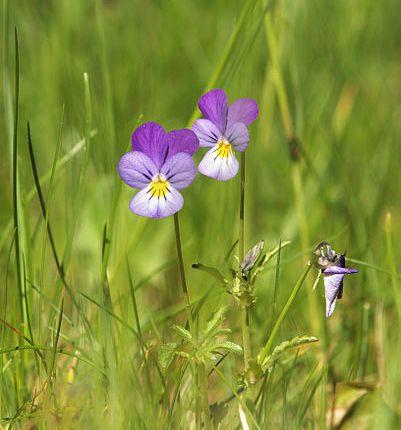 Viola_tricolor