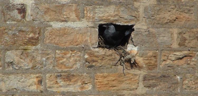 Jackdaw nesting in hole in wall, Wearhead Methodist Chapel (1)