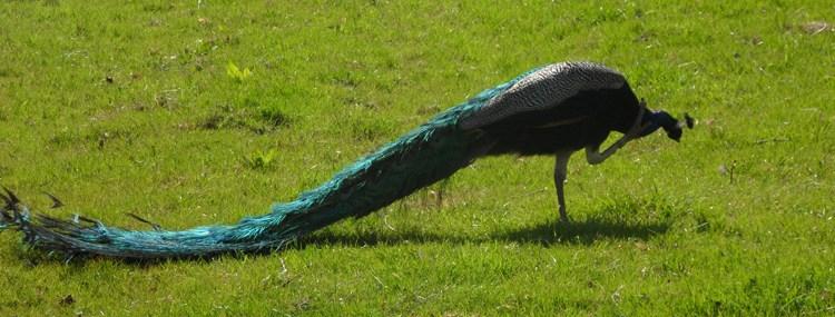 Peacock cleaning, Westerhopeburn