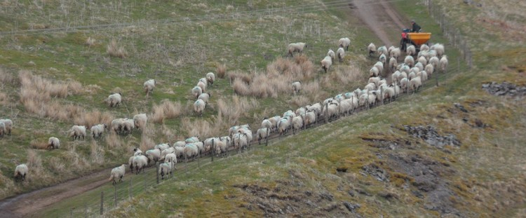 Sheep being driven on Wolfcleugh Common, Rookhope (1)