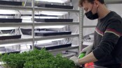 A man trims indoor hydroponic plants with a motorized tool