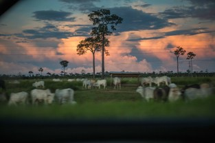 Since 1978 over 289,000 square miles of Amazonian rainforest have been cut down. Since the year 2000, 75% of that has been for cattle ranching. Cattle ranching and soy represent the largest threats today to the Amazon.