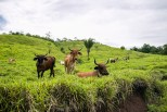 Tarapoto and the surrounding area have been inhabited for hundreds of year. In many places the jungle has been tamed for the cultivation of numerous crops and cattle grazing.