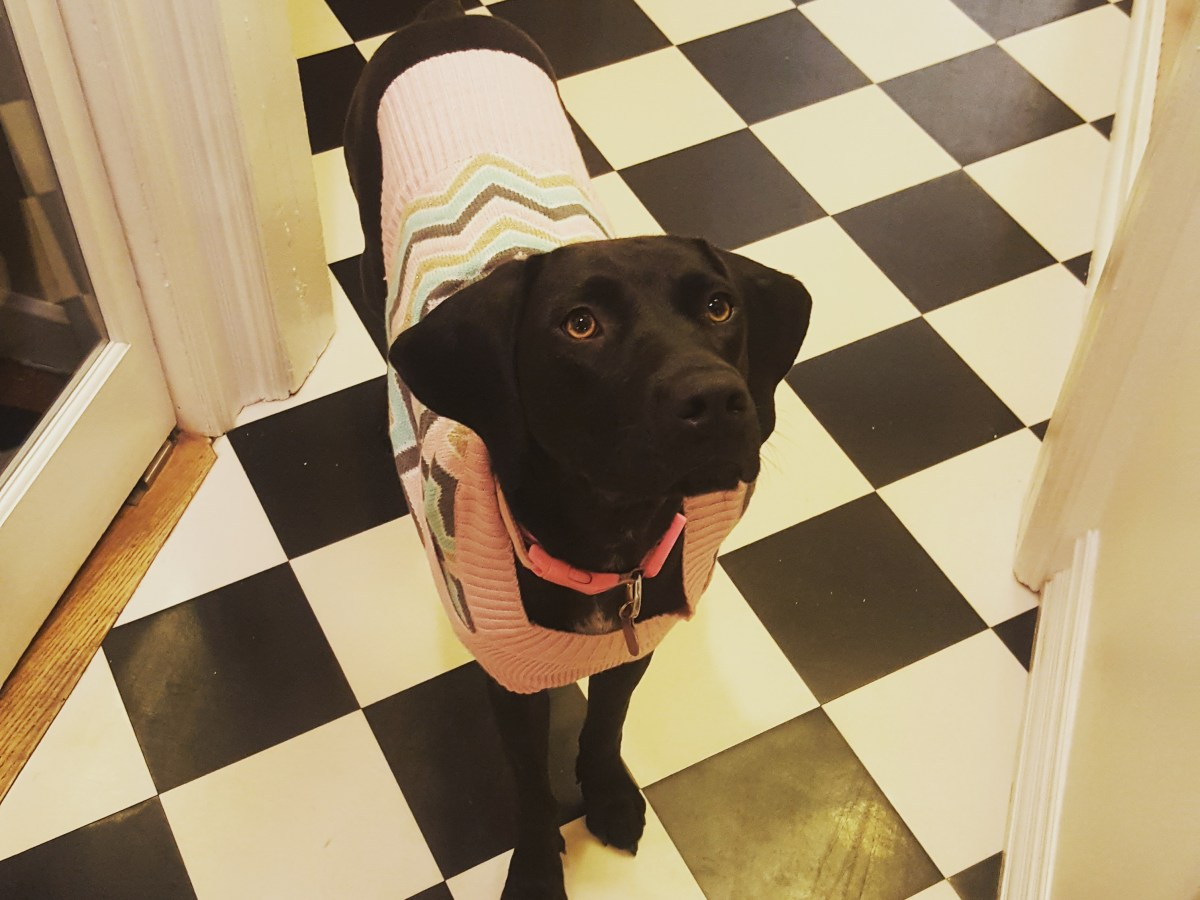 Becca the rescue dog with sweater on