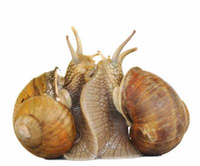 sexualité des escargots