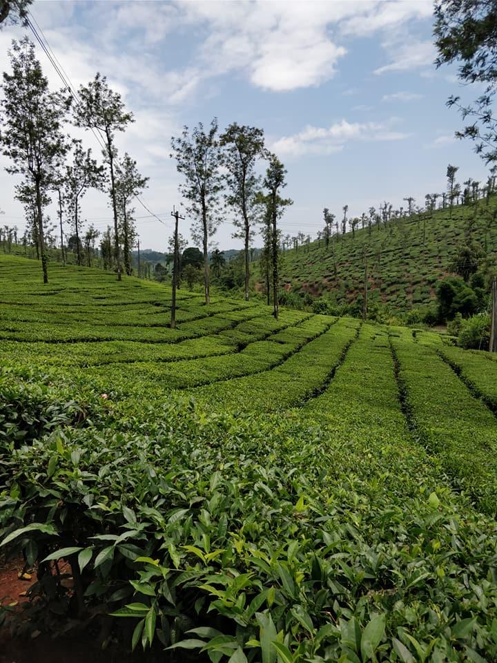 Non solo caffè, abbiamo scovato anche una piantagione di the a Coorg