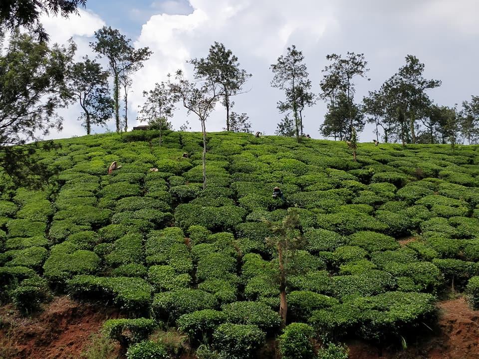 Piantagione di tè nel Wayanad