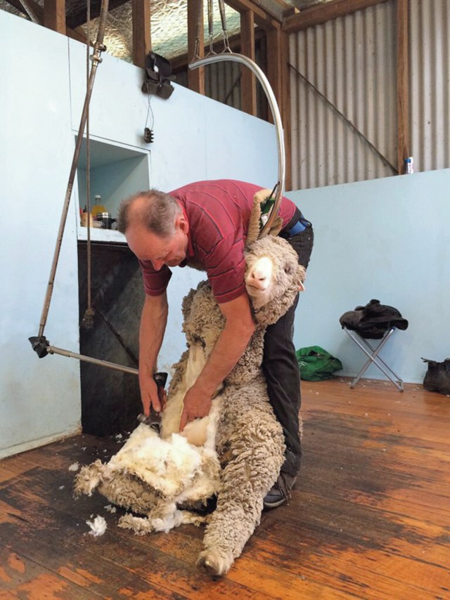 Tasmanian Sheep Shearing