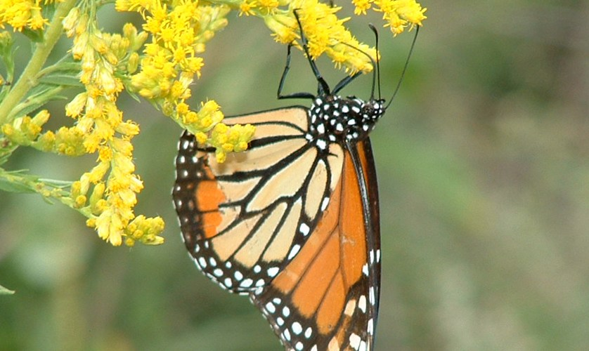 Mysterious Flight of the Monarch Butterfly