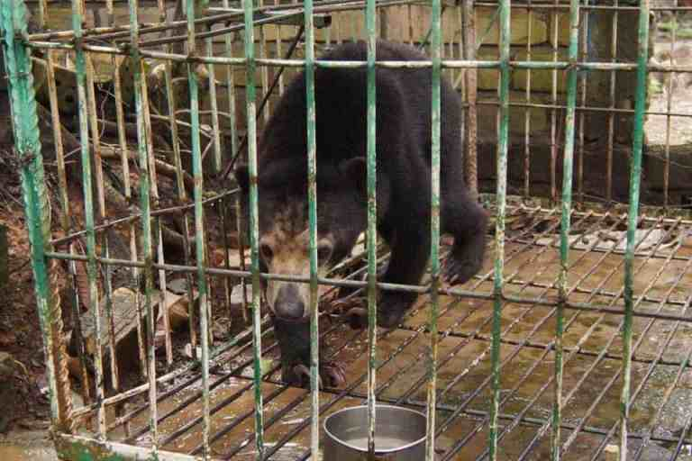 Caged Sun Bear