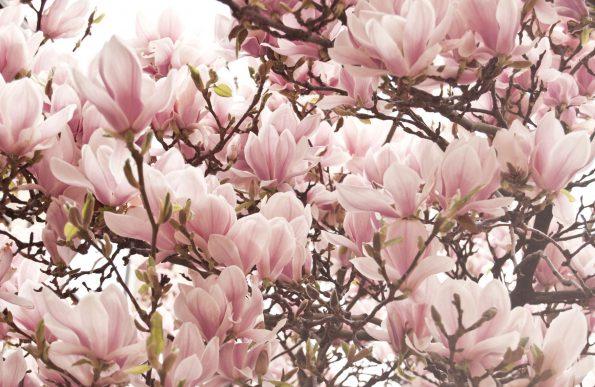 magnoliabloem aan een boom
