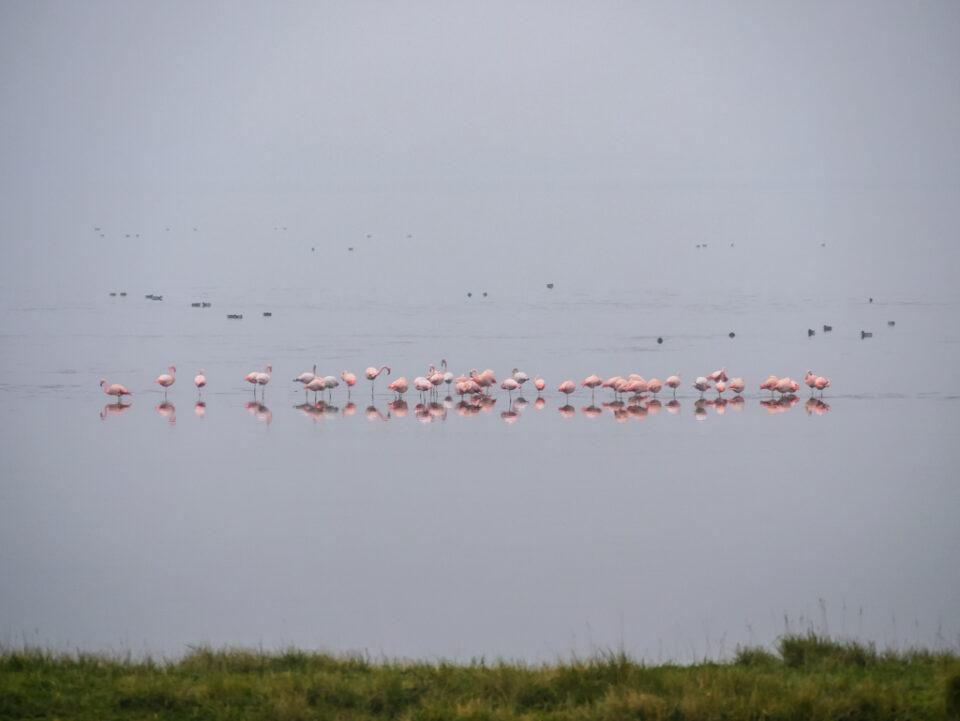 Een groep flamingo's in de grevelingen in Goeree-Overflakkee met op de achtergrond een zeilbootje.