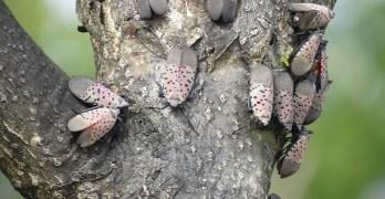 Adult lanternflys swarming on a tree. Photo: Kristen Wickert, WVDA.