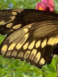 a giant swallowtail butterfly rests on a flower.