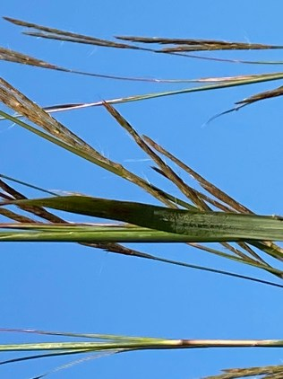 """The purplish pink tops of Big Bluestem (Andropogon gerardi) that fork into three or four parts earned this grass the nickname """"Turkey Foot"""" (credit D. Pifer)."""