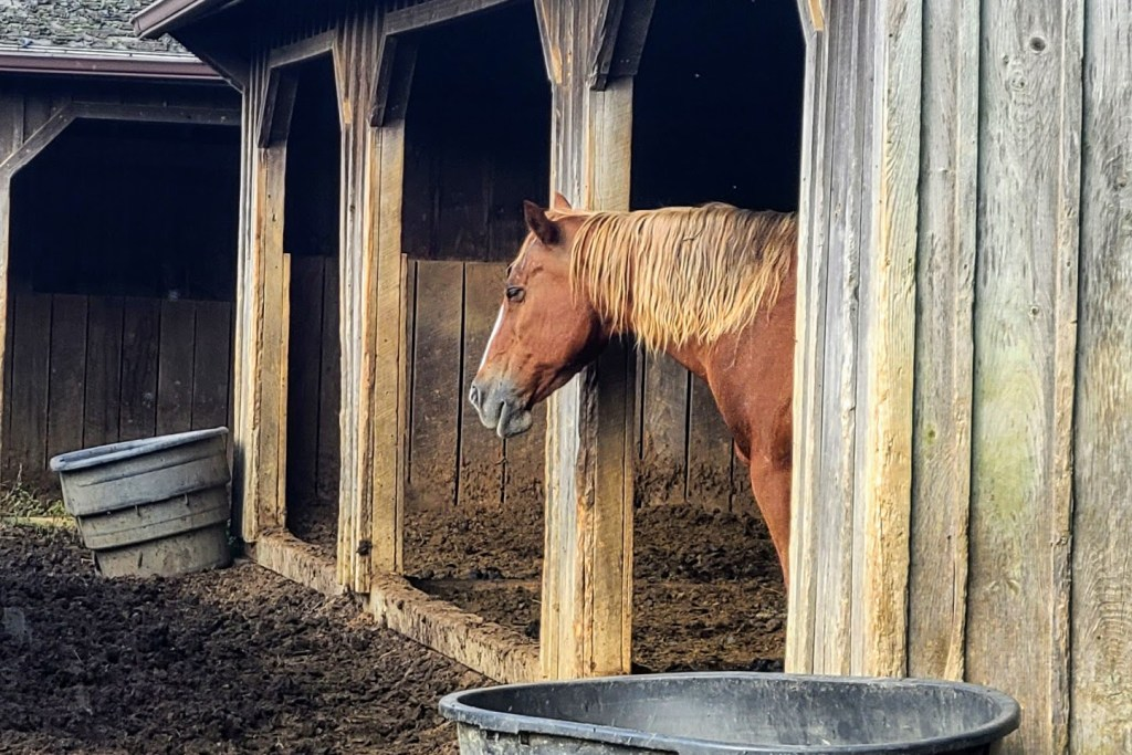 Jackie B, one of Gina Franklyn's rescue horses.