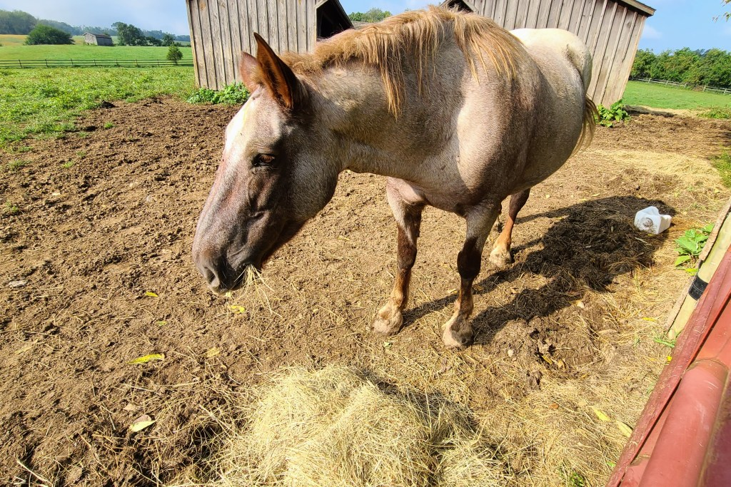 One of Gina Franklyn's rescue horses, enjoys a snack outside.