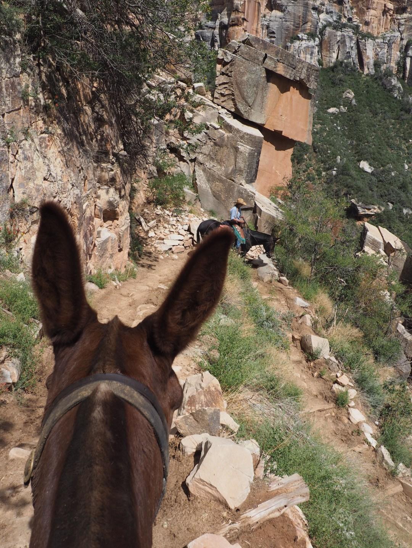 grand-canyon-mule-1
