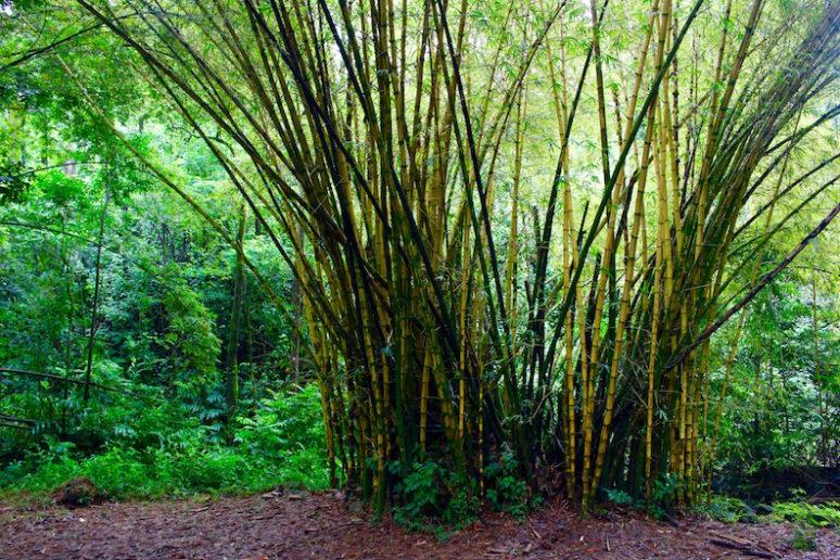 golden-bamboo-keanae-maui
