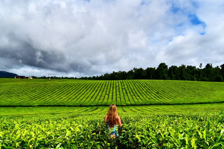 Cairns-Nuficora-Tea-Plantation