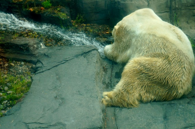 ^^This big guy, the polar bear, was quite shy. Or sad. Or both.