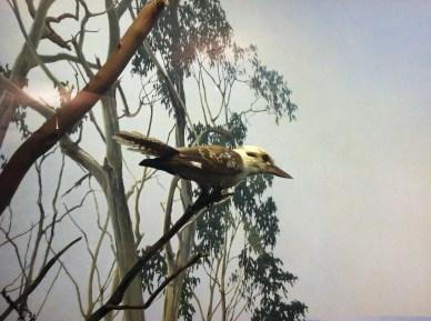 Kookaburra_Bird