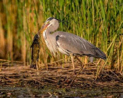 A grey heron with a fish in wetlands