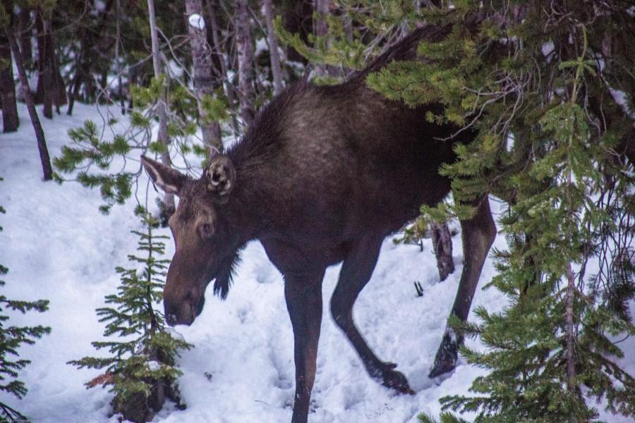 Finally, the elusive moose sighting, Idaho-Montana border