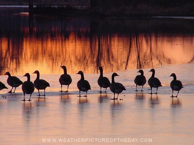 Geese gabbing in a golden sunset.