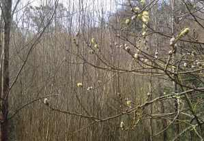 Pussy willow 3