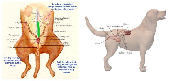 Abdominal Anatomy Female Ovaries