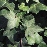 Ivy Leaf: Main Image