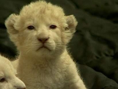 fehér oroszlánkölyök