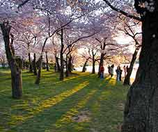 Cherry Trees in the Sunset