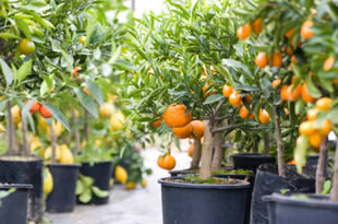 growing fruit trees within containers