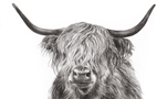 Highland Cattle Drawing